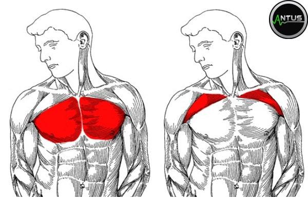 پرس بالا سینه هالتر حرکت پرس بالا سینه هالتر آموزش حرکت پرس بالاسینه هالتر عضلات درگیر در پرس بالاسینه هالتر