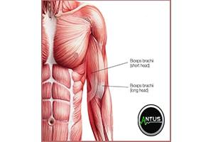 عضله دوسر بازو