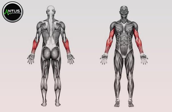 عضلات درگیر در حر کت جلو بازو زوتمن